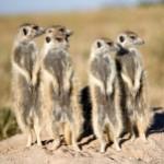 The Meerkat Approach