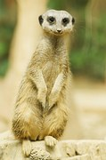 The meerkat, an alert animal always on the lookout