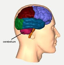 Our brain. The cerebellum is next to the brain stem