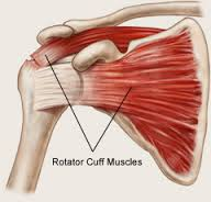 Structure of the Shoulder
